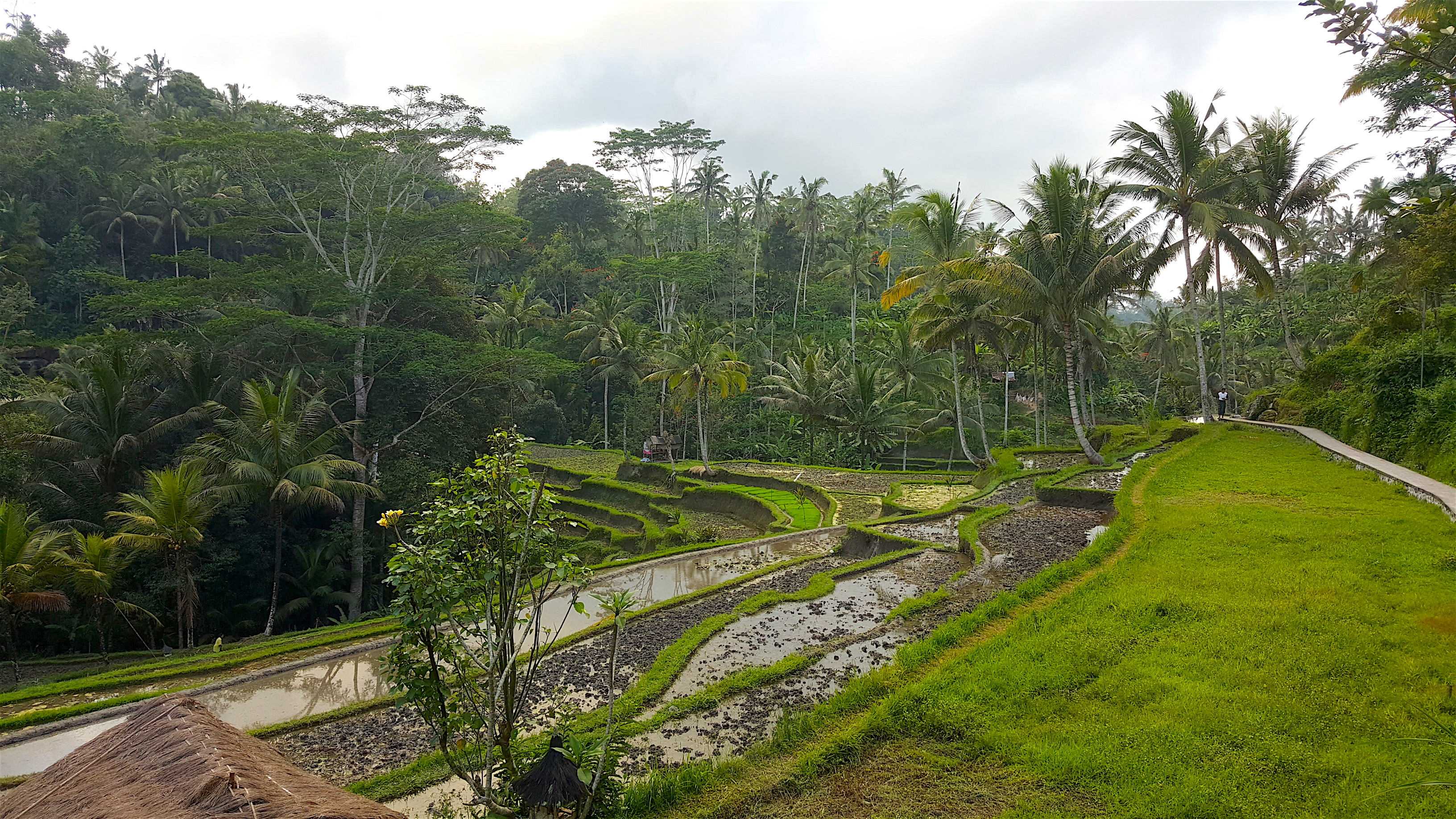 Bali, rice terraces at Tegallalang